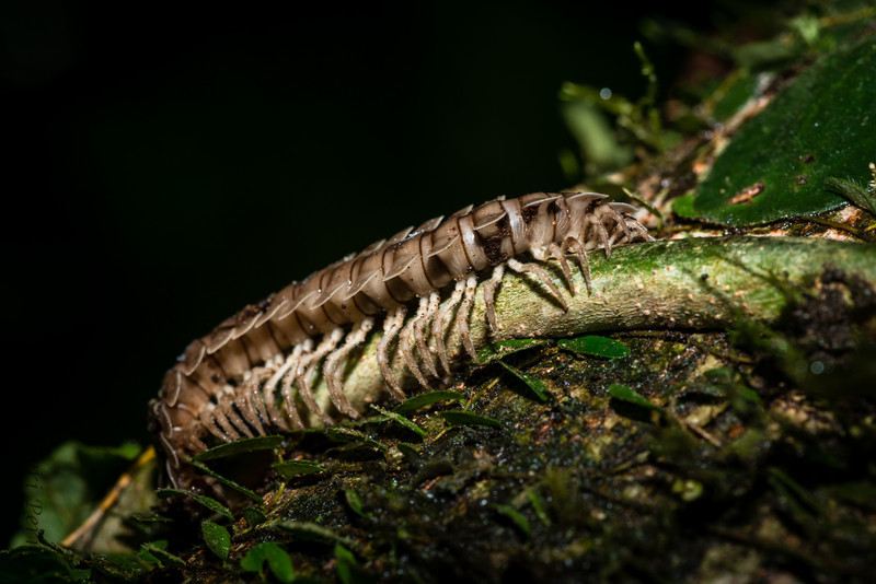 INSECT - millipede-1366.jpg