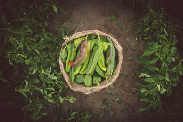 Late July Hatch Green Chile Farms - The Fresh Chile Co.