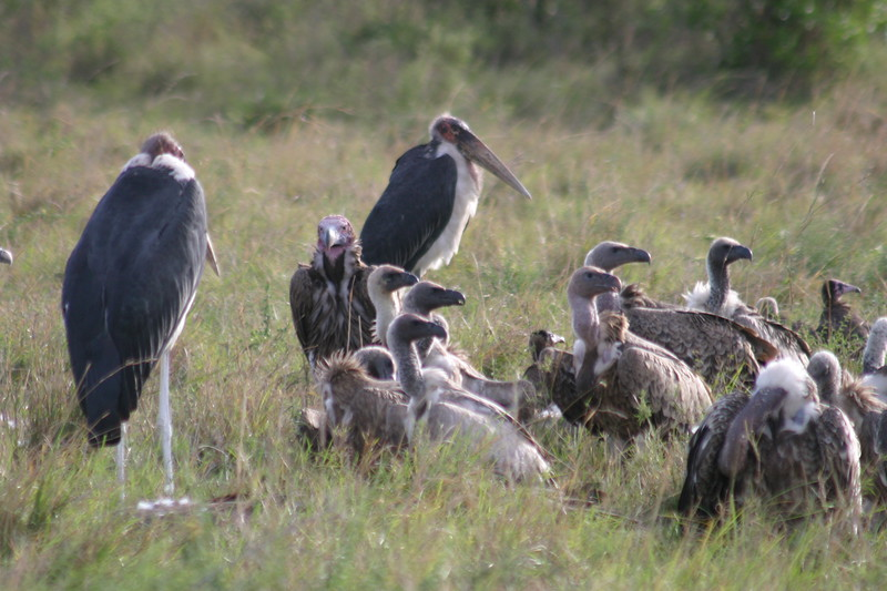 Vultures & Marabou Storks on a Carcass