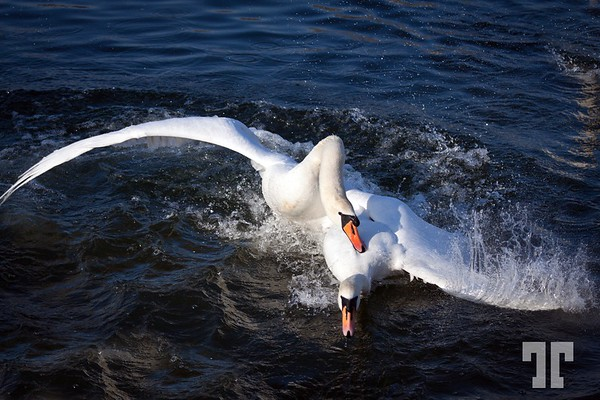 Pictures of Swans - Germany