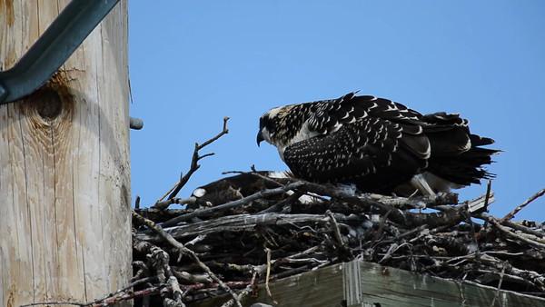 8 2013 Aug 16 Osprey Nest Video
