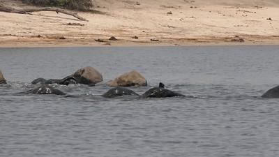 Swimming Chobe River Elephants