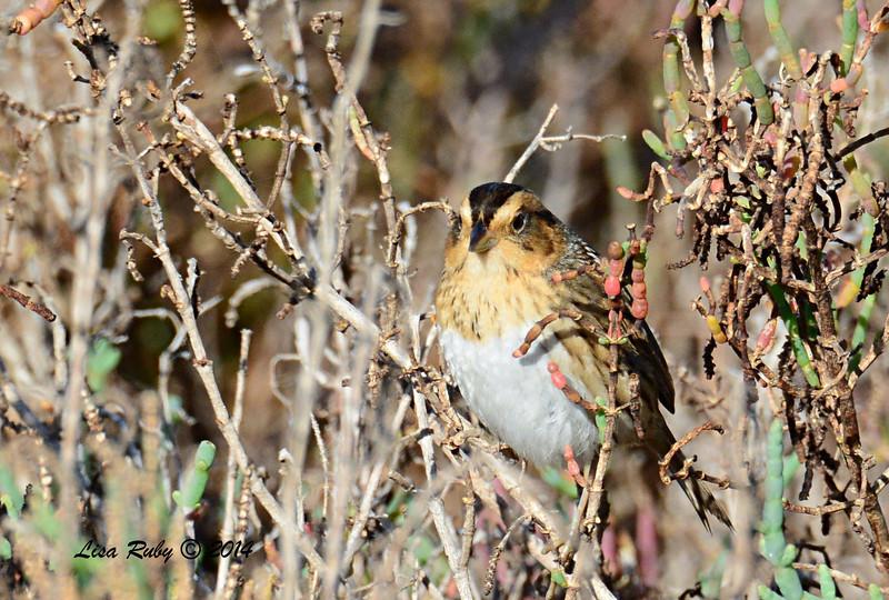 Nelson's Sharp-tailed Sparrow - 2/1/14 - North Rios Trail San Elijo Lagoon