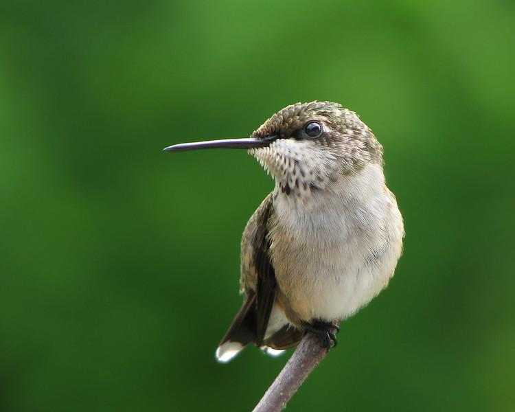 hummingbird_3977.jpg