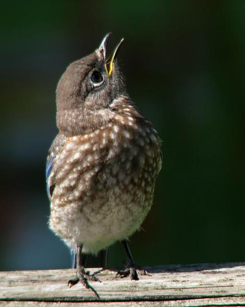 bluebird_fledgling_8563.jpg