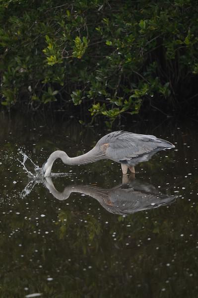 Great Blue Heron taking a jab at a fish.