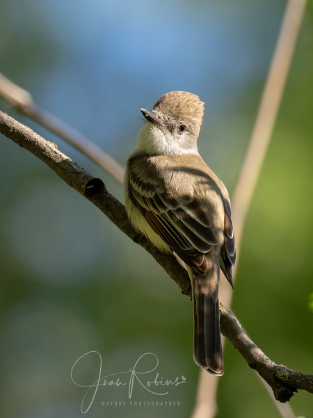 Ash-throated Flycatcher, Indian Fisheries, Chico, CA