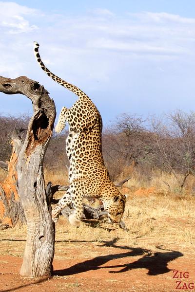 Leopard at Africat Okonjima, Namibia photo 6
