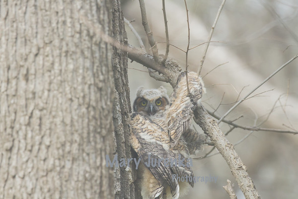 Great Horned Owlet Climbing a tree