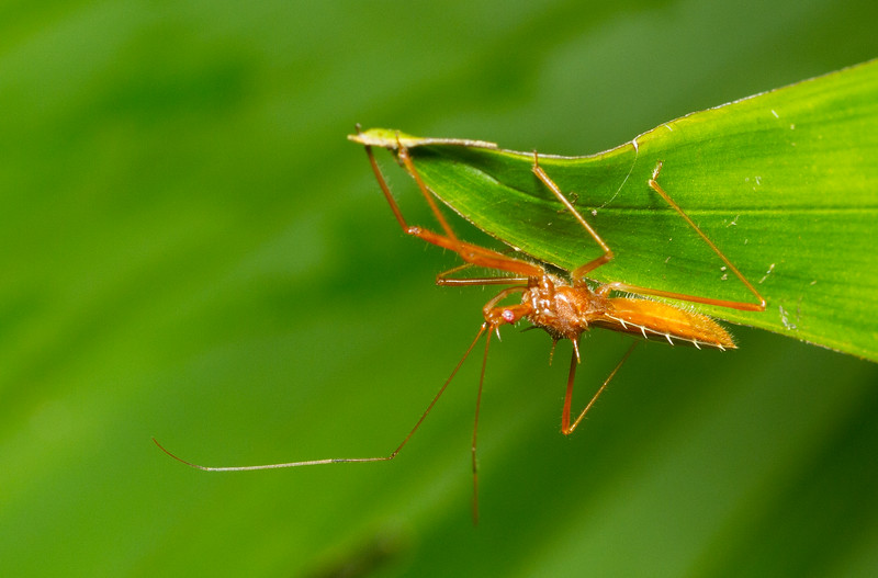 An assassin bug lurks under a leaf in Panama.