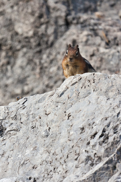 A Chipmunk at Plain of Six Glaciers in Lake Louise, Banff National Park.