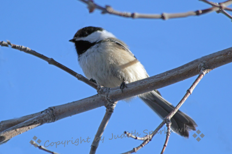 Black-capped Chickadee ~ This cute chickadee was in the yards in the neighborhood where I was staying in Edmonton.  It is a different species from the ones I see at home, so it was a treat to see them all over in the trees there.