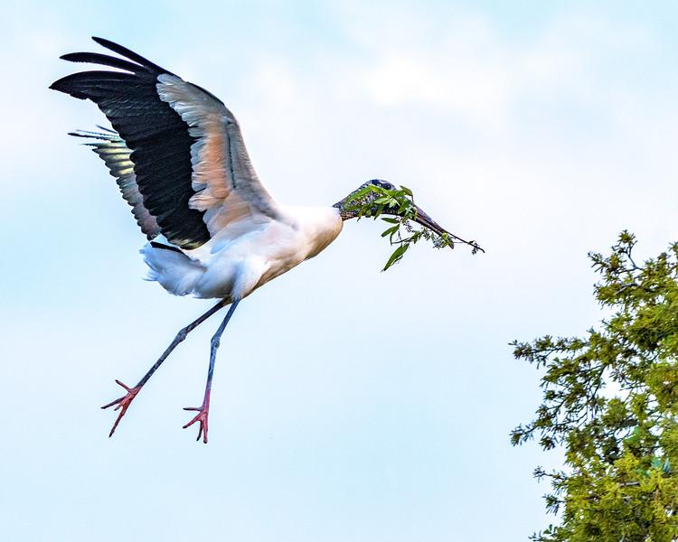 Wood Stork - ready to land