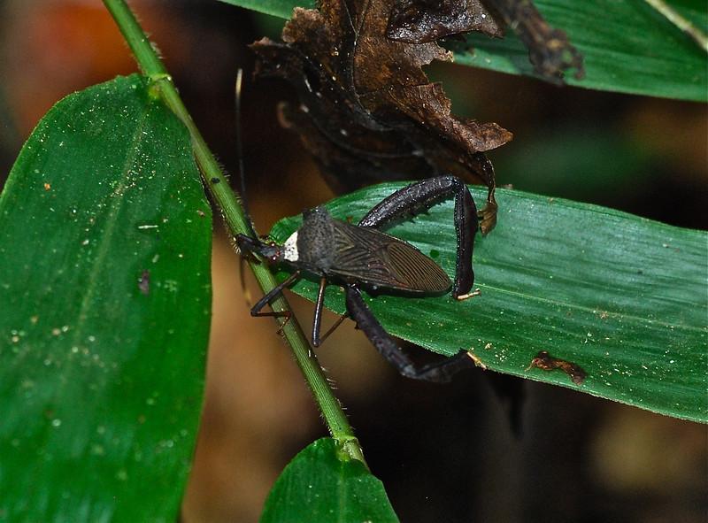 Brown Passion Vine bug (Anisoscelis) A.K. Guyana 2011