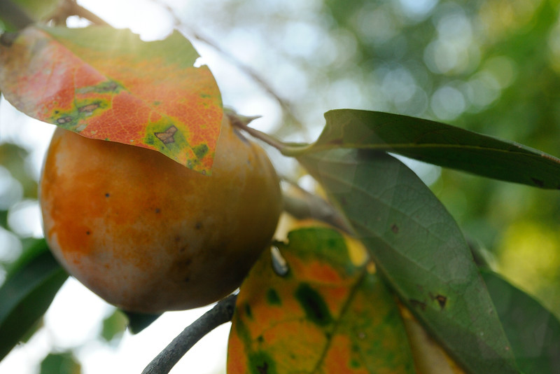 The persimmons are ripe.