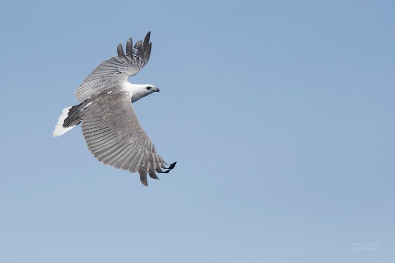 White-bellied Sea-eagle, Eaglehawk Neck Pelagic, TAS, Dec 2019-1.jpg