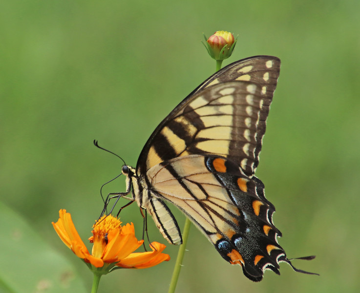 Eastern tiger swallowtail 2