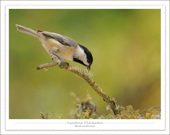 Chickadees, Nuthatches & Wrens
