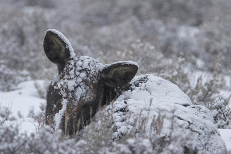 moose-snow1.jpg