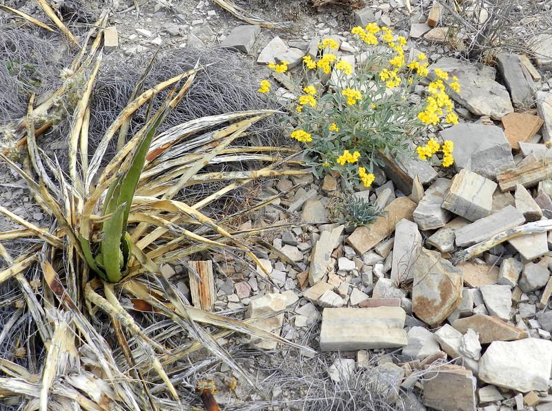 Flowers yellow rocks and Lechugilla.jpg