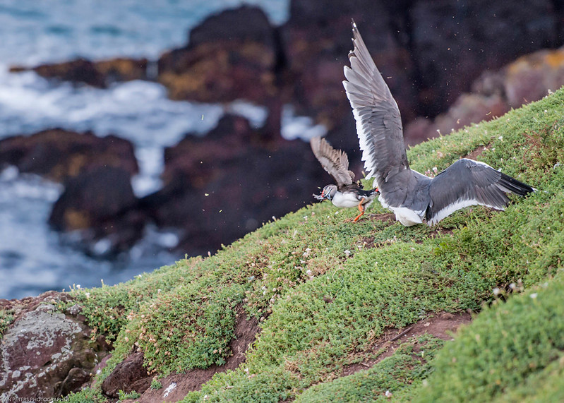 Gull pinching Sandeels from puffin