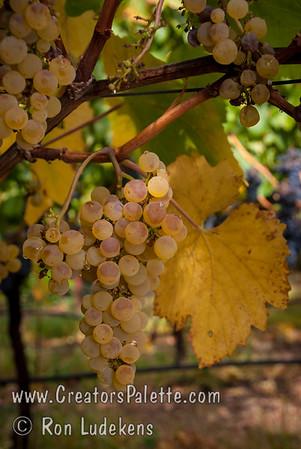 Chardonnay Grapes (Pinot Chardonnay) - Vitis vinifera