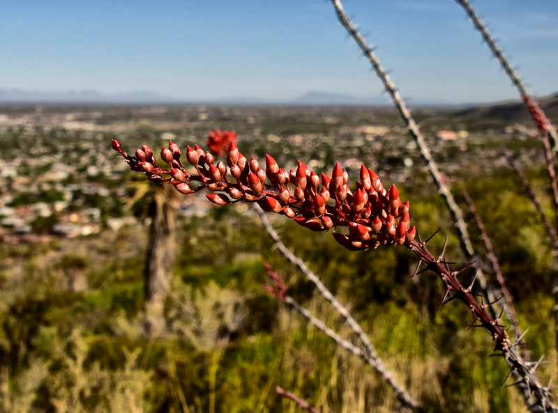 NEA_1175-Ocotillo Bloom.jpg