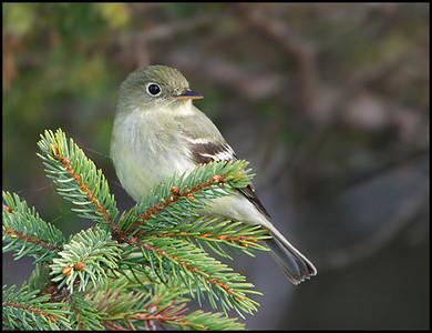 Flycatchers & Kingbirds