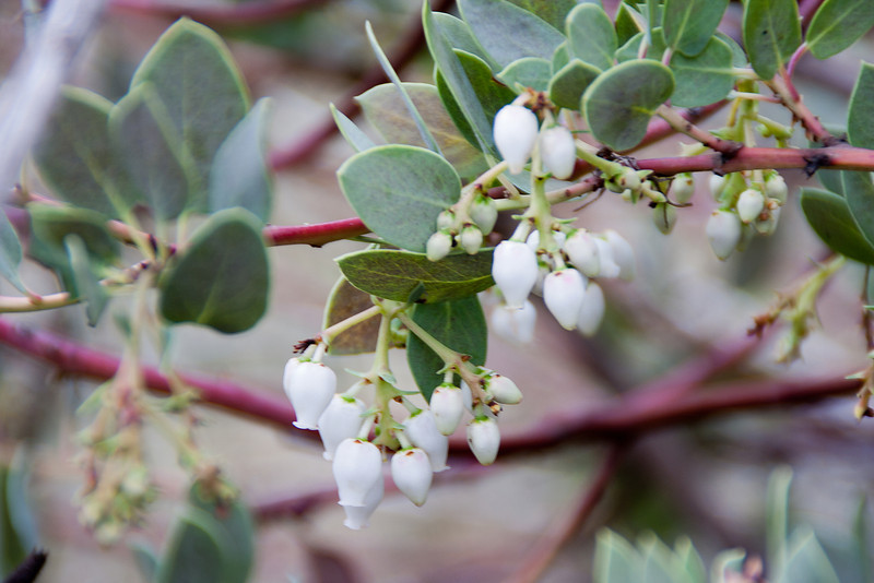 Manzanita (Arctostaphylos) is blooming at this time of year. The green, the red, the white--want to go back and take some othe shots of this.