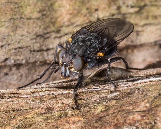 Xenocalliphora neozealandica