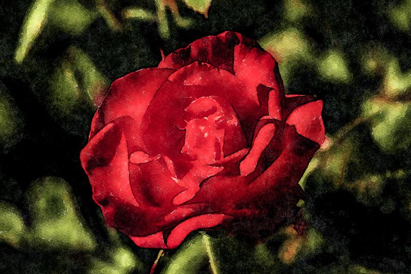 August 14 - Red rose.jpg