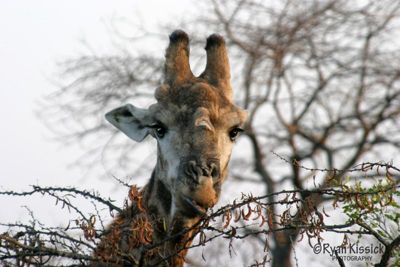 Giraffe eating from an acacia tree