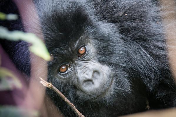 Gorillas in Rwanda
