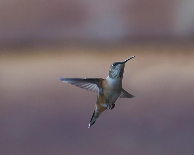 humming bird (46 of 55).jpg