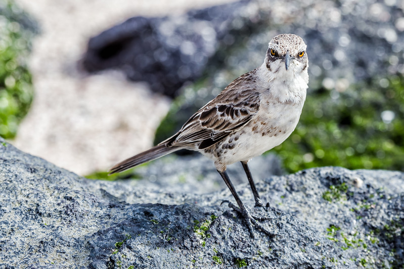 Galapagos Islands Animals - Mockingbird - Lina Stock