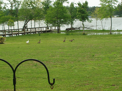 Geese Egrets and Herons
