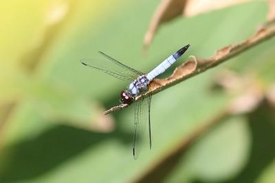 Aethriamanta gracilis