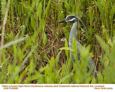 Yellow-Crowned Night-Heron A69868.jpg