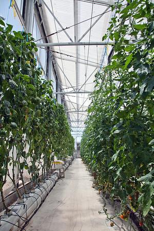 Iskashitaa Tomato Harvest - 6/4/13