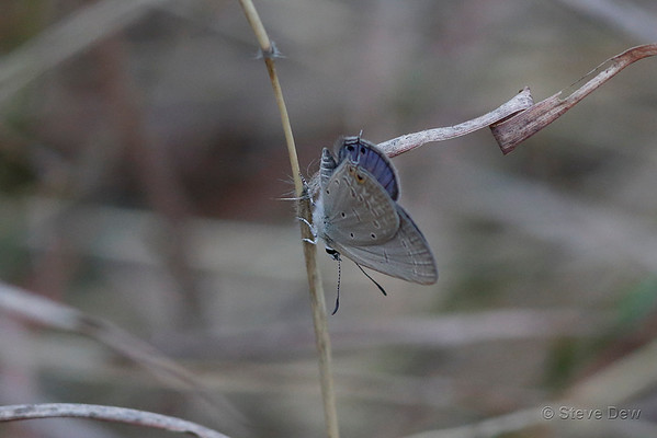 Spotted Pea-blue
