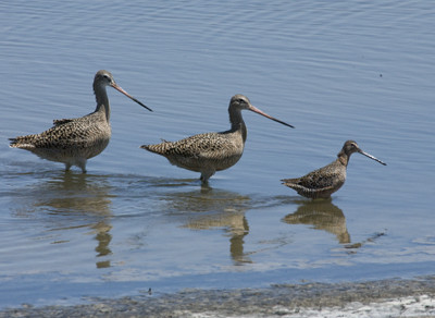 Marbled Godwits & Long-billed Dowitcher 72243.jpg
