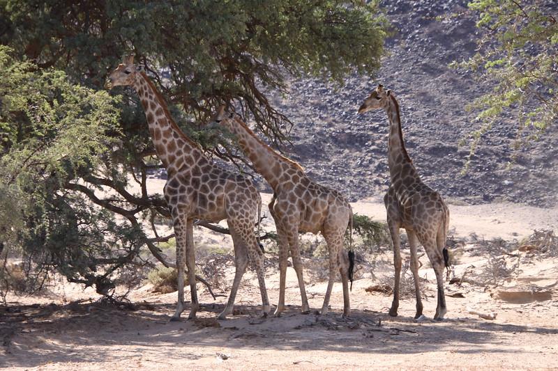 Southern Giraffes in Damaraland