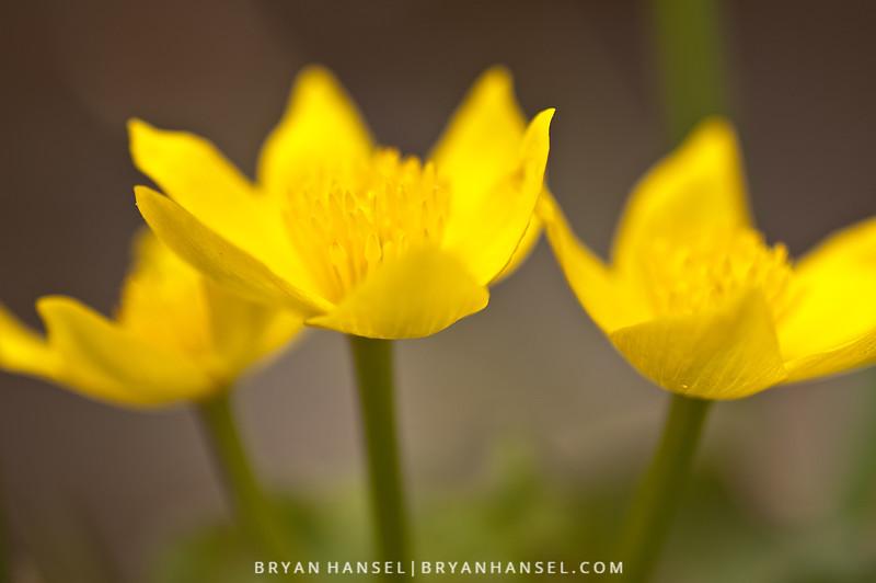 Swamp Marigold