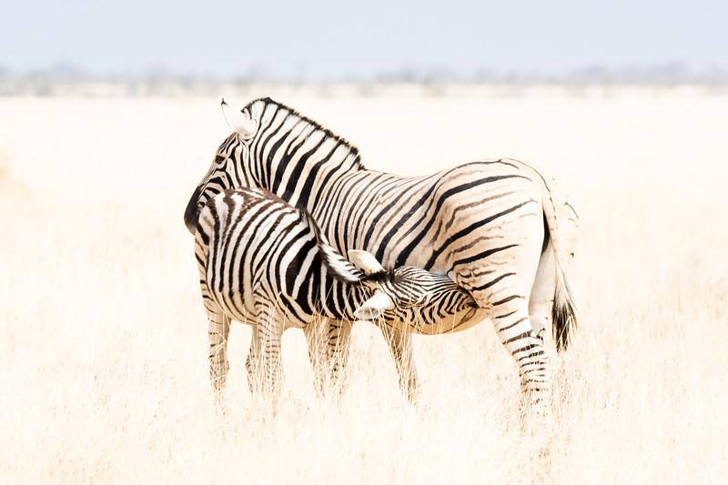 zebres (1 de 1).jpg