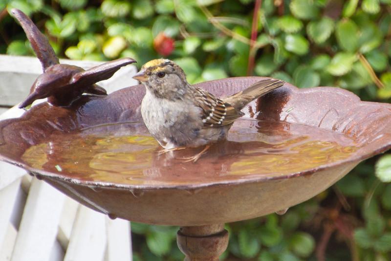 Backyard_Birds-Mar2012-37.jpg