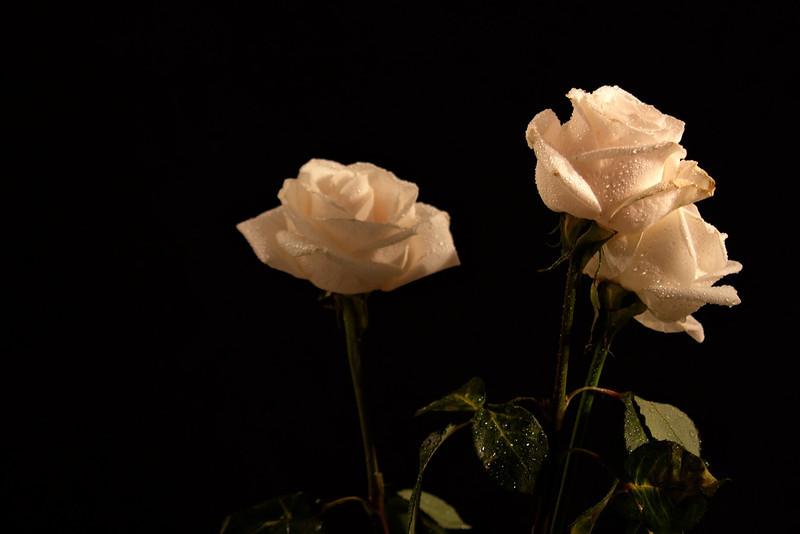 White roses on black background.jpg