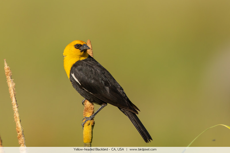 Yellow-headed Blackbird - CA, USA
