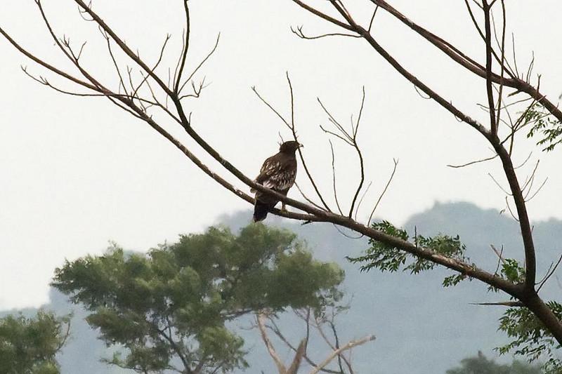 Greater Spotted Eagle juvenie at Mai Po, Hong Kong, China (11-8-08).psd