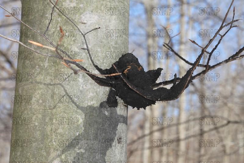 Black Sooty Mold Fungus