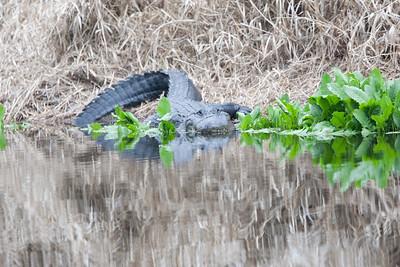 untitled20110203_Alligator MyakkaLakeFL_7I2B4509_11-02-03